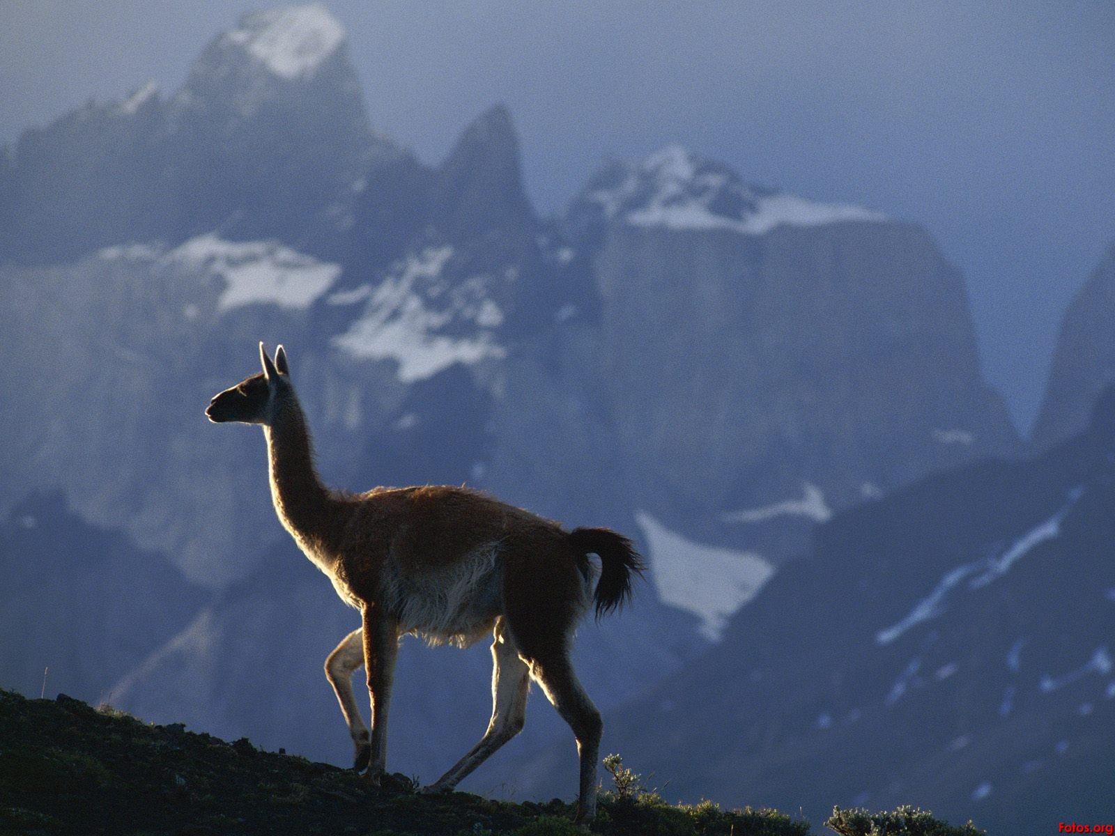 http://2.bp.blogspot.com/-amhuQcFDFvQ/UCaefsLZ8uI/AAAAAAAAEqA/u0j-SUDNYLE/s1600/Guanaco-Chile-wallpapers.jpg