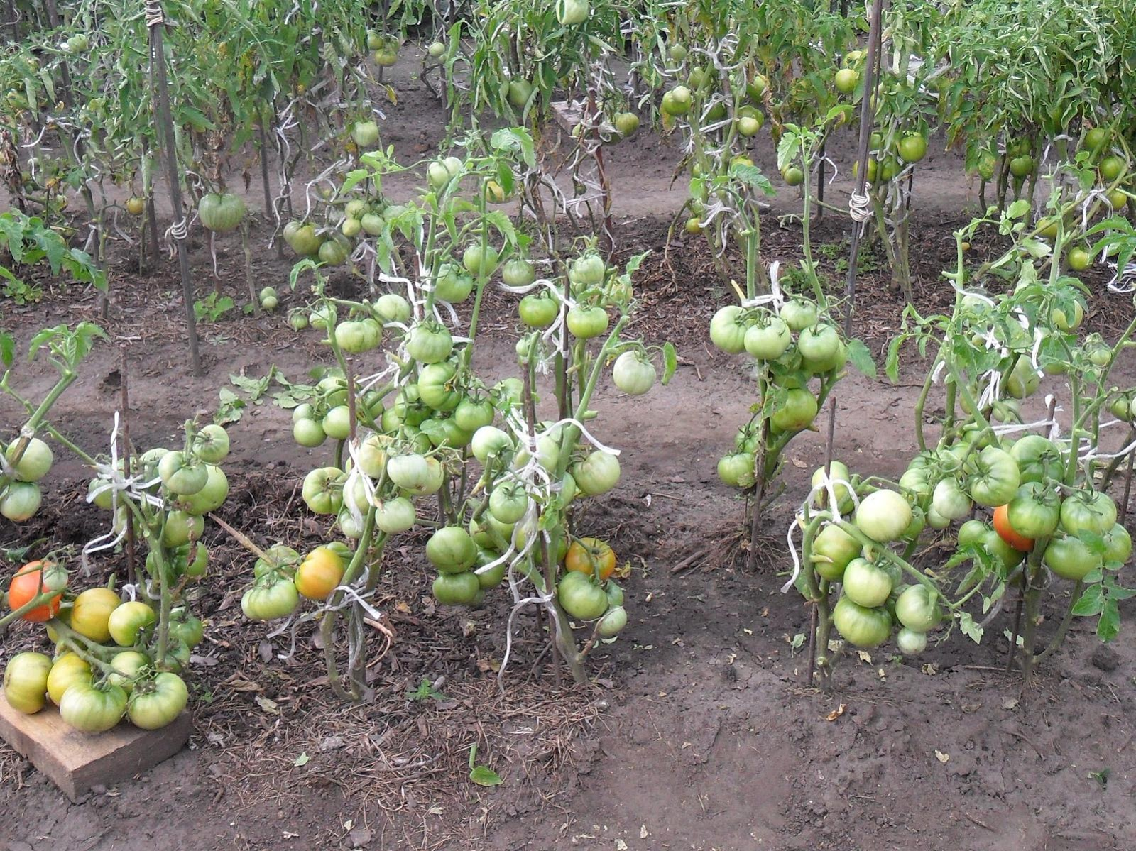 Безрассадный способ выращивания помидоров 53