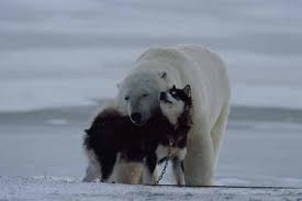 polar bear playing with husky