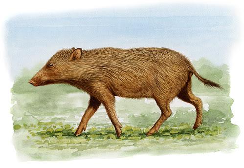 suidae fosil Eumaiochoerus