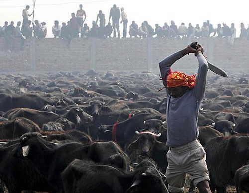 Ngeri, Pembantaian Hewan Kurban untuk Dewi Gadhiami di Nepal