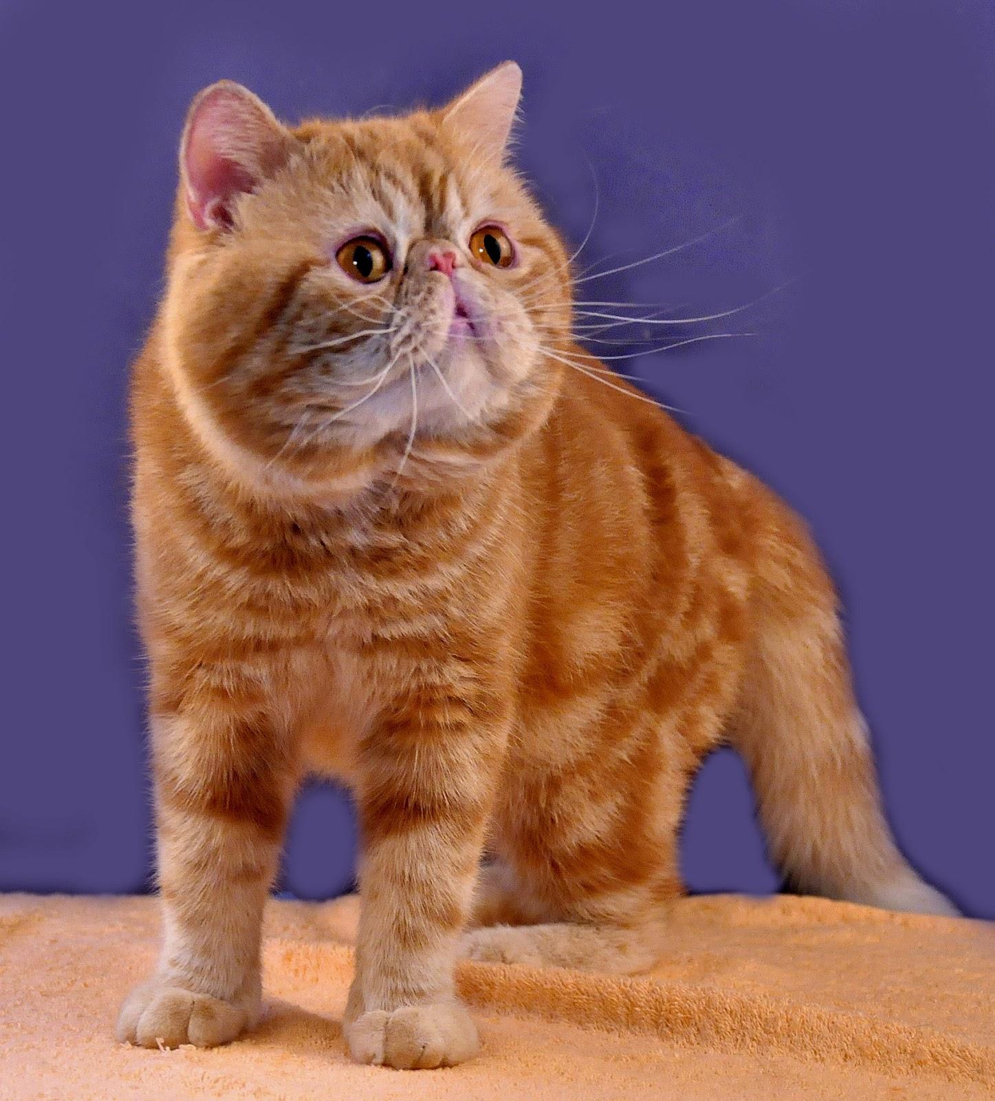 Warna Rambut Kucingku Orange Dan Kembang Telon