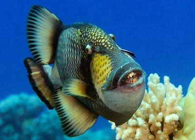 http://2.bp.blogspot.com/-anM4HUsjo8k/Ua3ooBj5cOI/AAAAAAAALuE/68Isi7A0UWs/s1600/Titan+Triggerfish+2.jpg