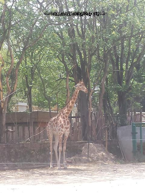 Girafe debout devant sa mangeoire surélevée dans son enclos à Touroparc