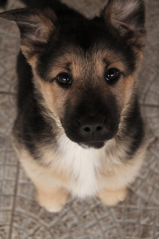 Cute Puppy of German Shepherd