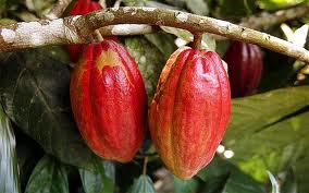 Budidaya, kakao, tanaman, kakao, budidaya coklat