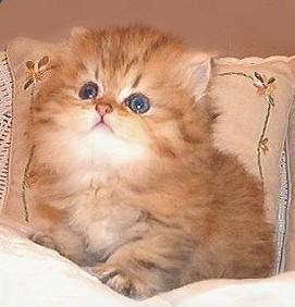 Gambar Kucing Persia imut