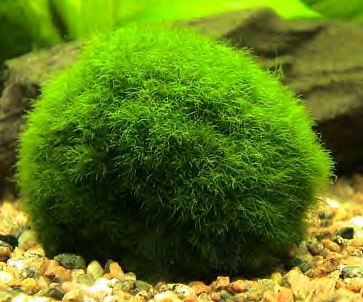 Salt and vinegar marimo what 39 s so great about it vs moss for Marimo moss ball