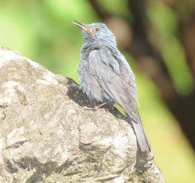 Blue Rock Thrush (Monticola solitarius madoci)