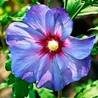 Grow a Blue Garden: Hibiscus Rose of Sharon