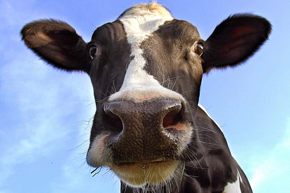 dating autistic woman and cows