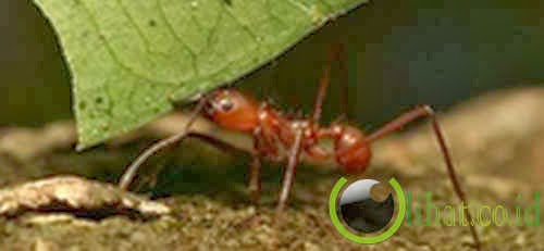 Semut pemakan daun