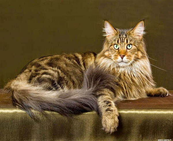 Une Photo chat maine coon