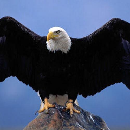 Hd wallpaper eagle - 40 Lebih Foto Burung Elang Keren