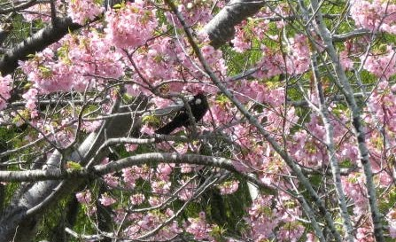 Tui on blossom