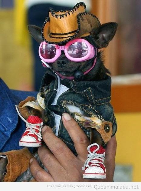imagenes chistosas de perros chihuahua - Imagenes De Perro Chihuahua Imagenes de Perros Bonitos