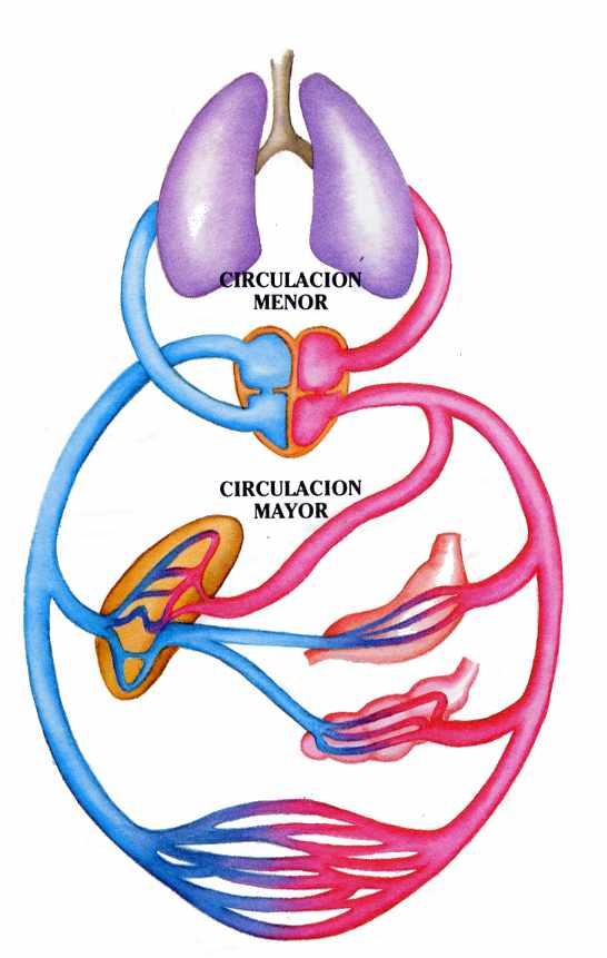 Circuito Respiratorio : Ciencias naturales y fisicoquímica para todos sistema