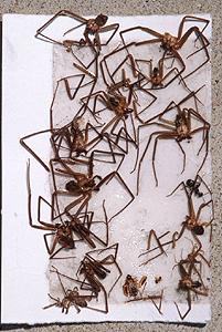 กำจัดแมงมุม