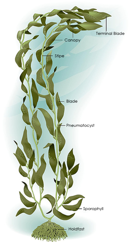 the shellneedle animal research project by lauren f b7 thinglink : kelp diagram - findchart.co