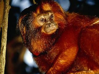 Foto Monyet Emas