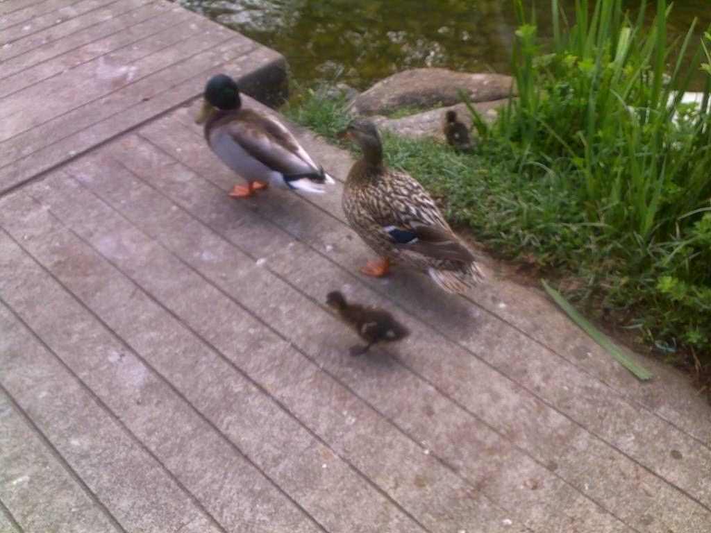 ducks, ducklings, Lisbon