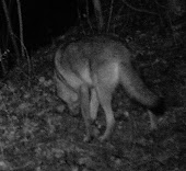 OFS NETWORK CATCHES COYOTE ON CRITTER CAM!