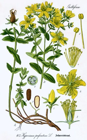 Growing Hermione S Garden Hypericum Perforatum St John