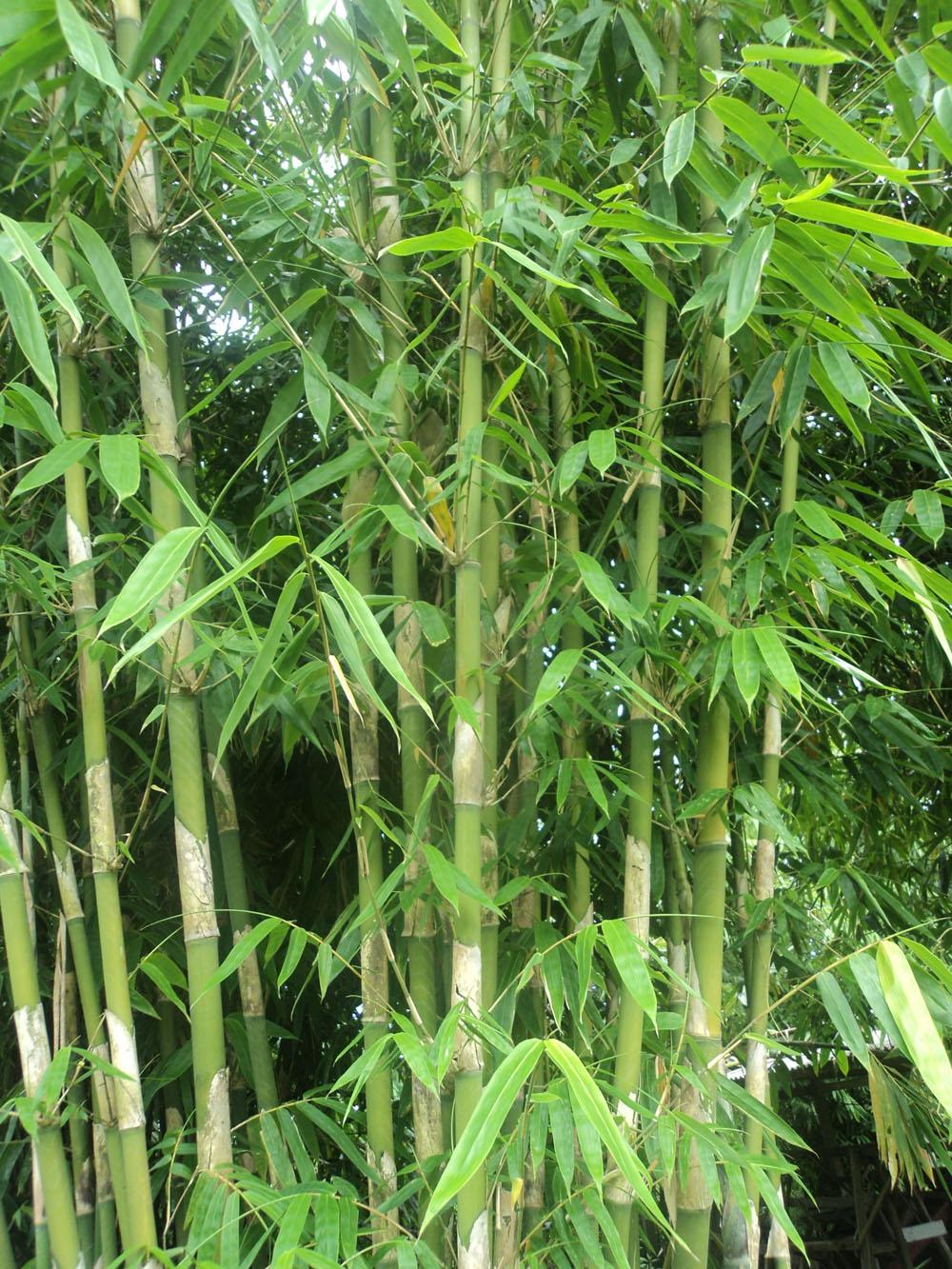 Image Result For Bambu Wulung