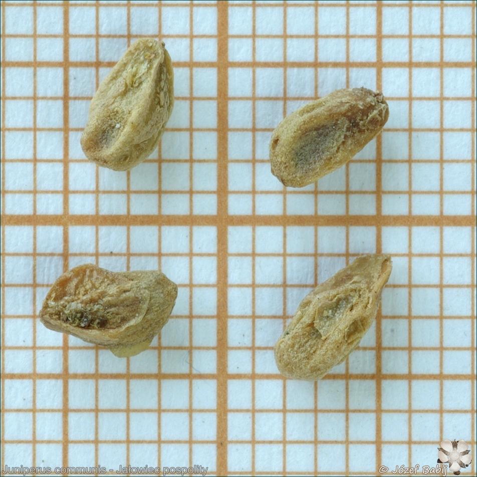 Juniperus communis - Jałowiec pospolity nasiona