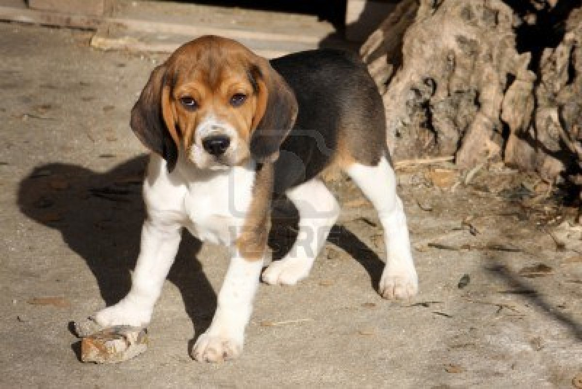 Cute Dogs: beagle dog