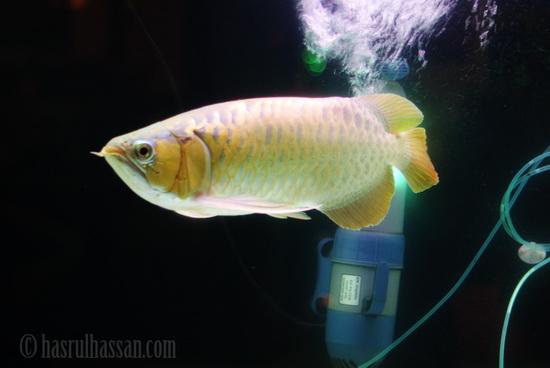 Malaysian Golden Arowana Ikan Hiasan Termahal di Dunia