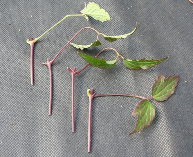 stem cutting Stem cuttings involve removing part of a plant's stem and growing it on to become a complete new plant taking cuttings involves damaging the plant in some way (in this case by removing a piece of stem) so that the plant starts to repair itself.