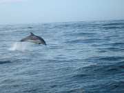 Dolphins are frequently spotted off the coast of Bruny Island you can see . (dolphin)