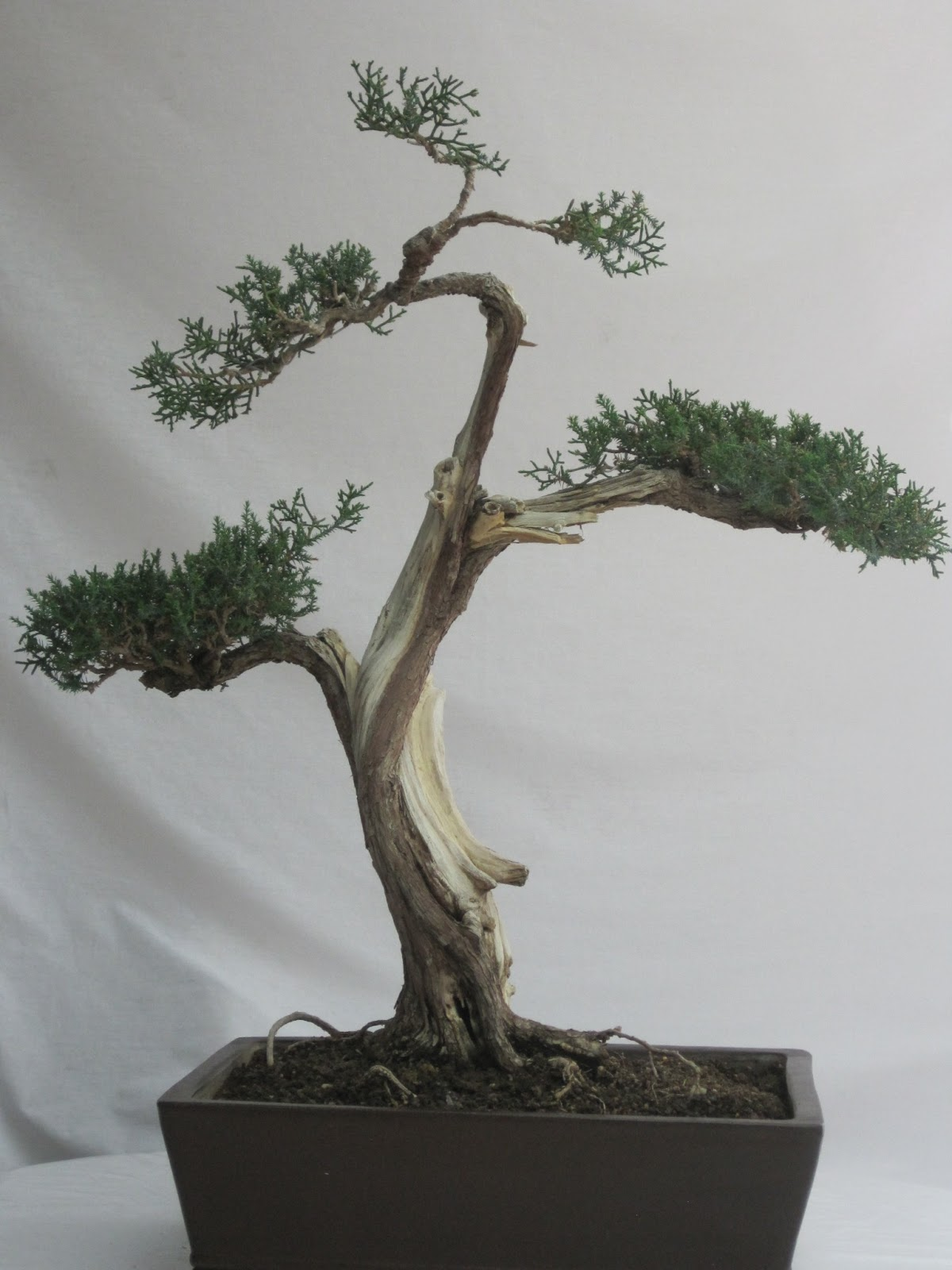 ShoChiku Bai Bonsai Club