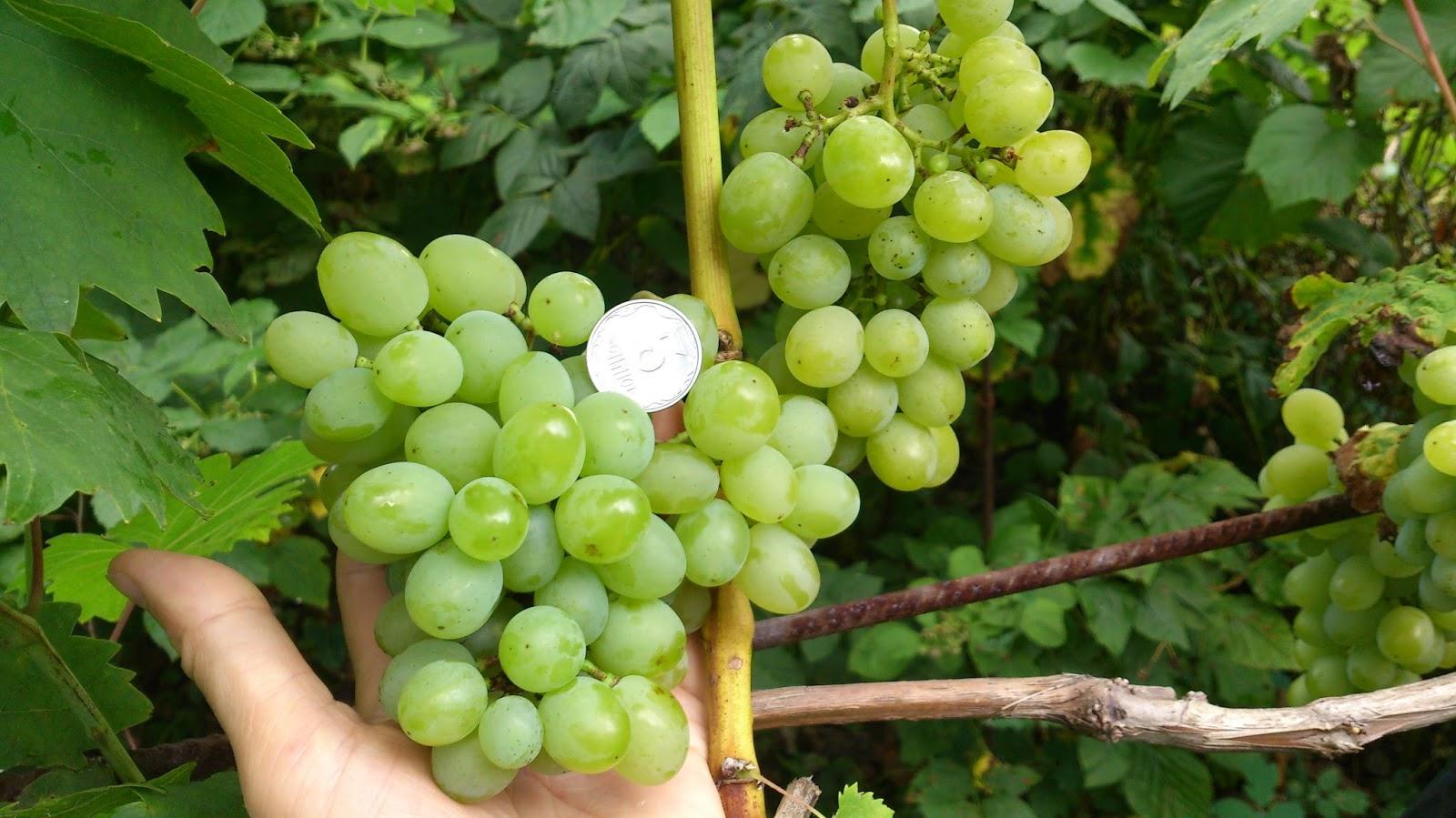 Виноград сорт подарок запорожья описание сорта фото