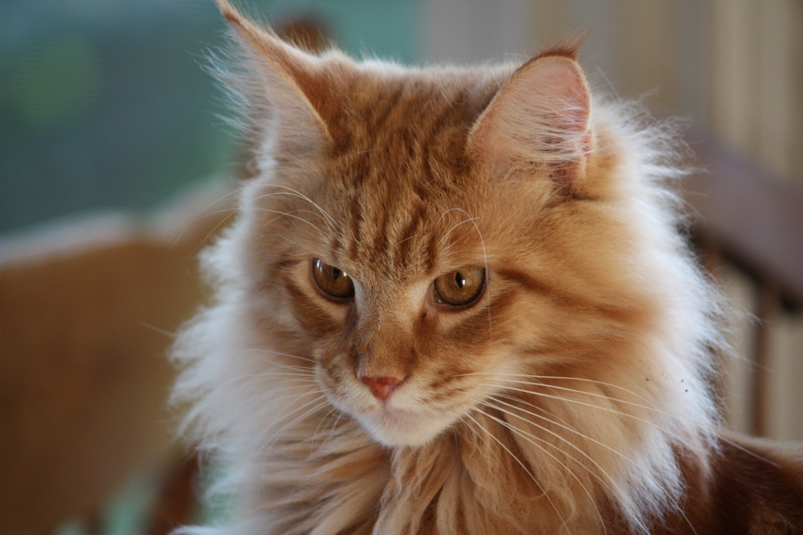 Orange Maine Coons Roux  maine coon catOrange Tabby Maine Coon Kitten