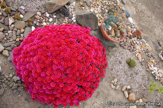 E agora, estou em dúvida, essas são do meu jardim...Delosperma ou Lampranthus?? Helppp!!