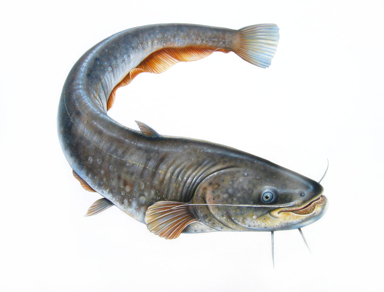 Catfish wallpapers 2013 wallpapers for Cat fishing 2