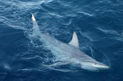 Tubarão híbrido inédito é descoberto na Austrália