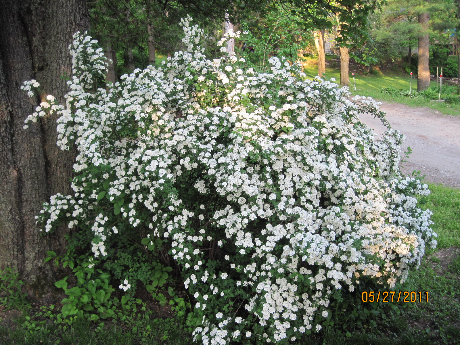 Types of white flowering shrubs pictures to pin on for White flowering bush