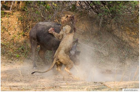 Gambar Singa Bertarung Dengan Kerbau Sampai Mati