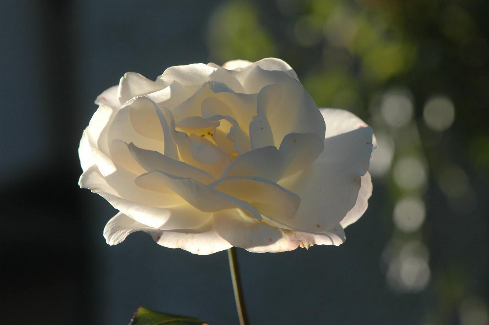 Rosa al trazluz