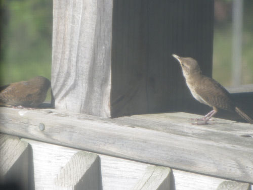 house wrens