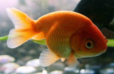 Oranges Ranchu Goldfish