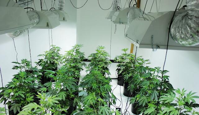 Indoor Zucht von Cannabis - Cannabis Samen