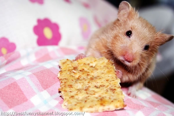 Hamster and eat.