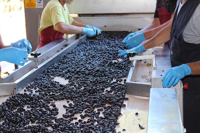 mesa de seleccion de uva