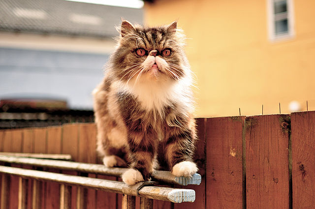 Persian Cat Picture