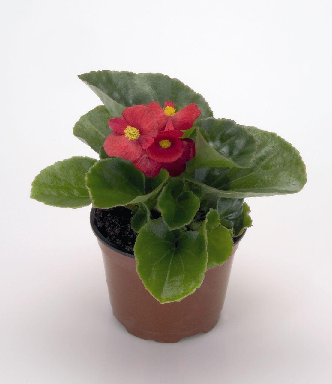 flores jardim exterior : flores jardim exterior:Plantas e Flores: Begónia (de flor ou de jardim)