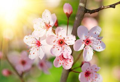 Cherry blossoms - Flores de cerezo - Fotografías bonitas